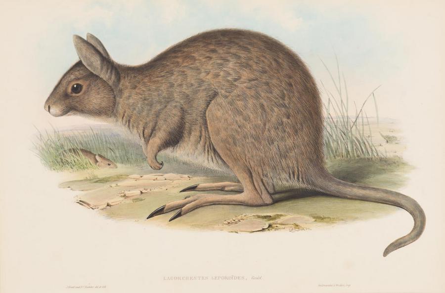 'Lagorchestes Leporoides' (Hare Kangaroo)