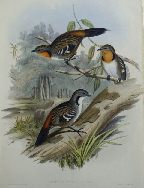 Spine-Tailed Orthonyx (Orthonyx Spinicaudus)