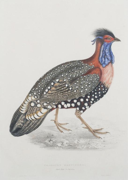 A Tragopan Hastings II - Pheasant