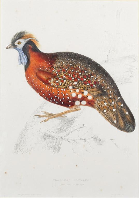 A Tragopan Satyrus - Pheasant