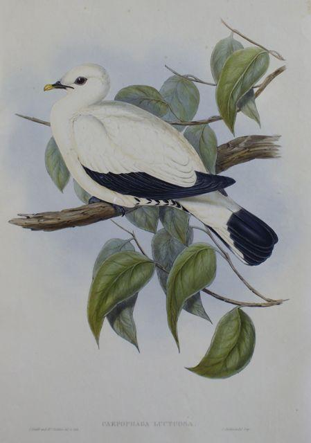 Torres Strait Fruit Pigeon (Carpophaga Luctuosa). Light Foxing
