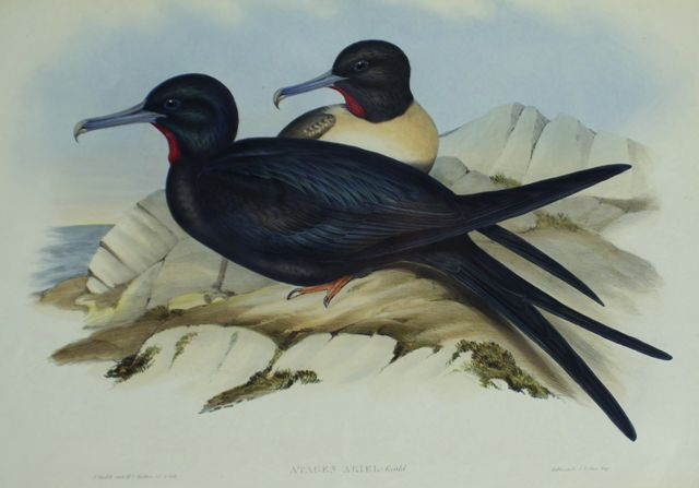 Small Frigate Bird (Attagen Ariel)