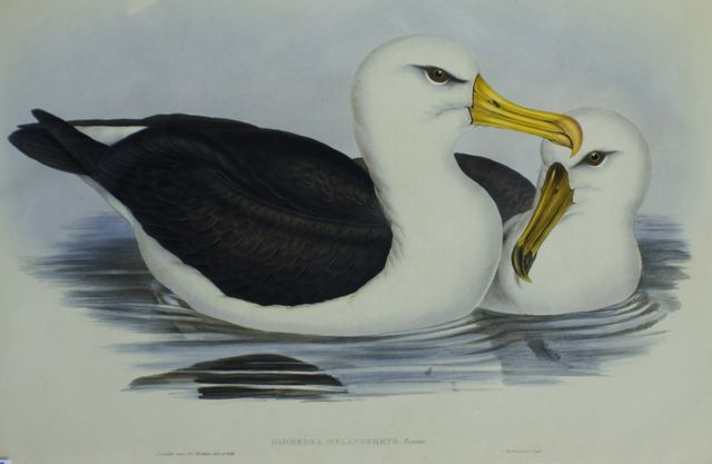 Black-Eyebrowed Albatros (Diomedea Melanophrys)