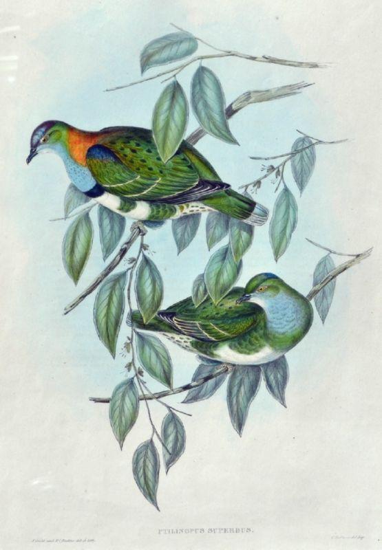 Ptilinopus Superbus (Superb Fruit Pigeon), Birds of Australia
