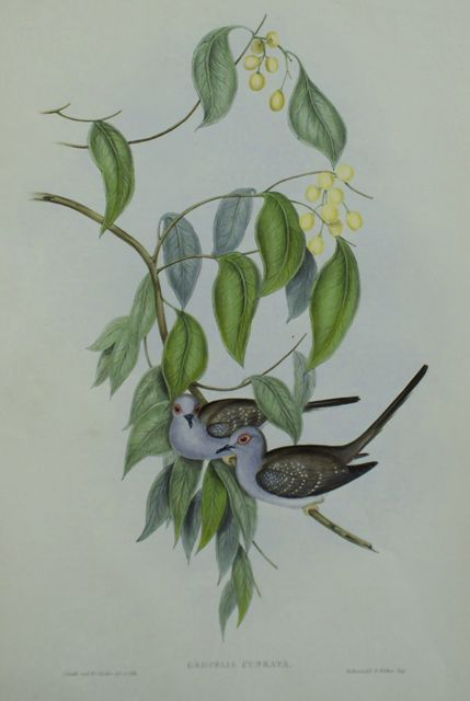 Graceful Ground Dove (Geopelia Cuneata)