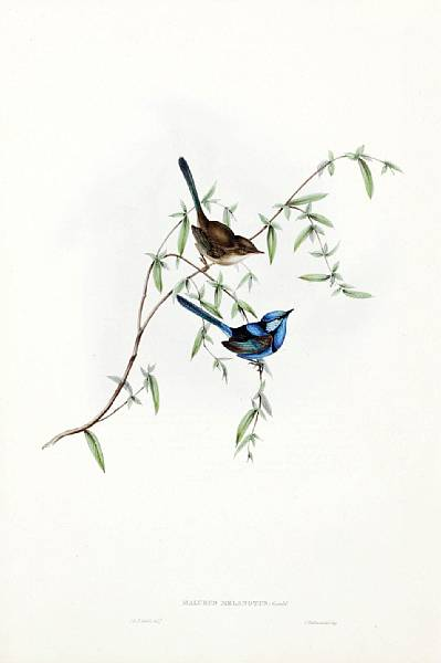 Robins, Wrens, Warblers & Finches, (Malurus Melanotus). Lithograph by Elizabeth Gould