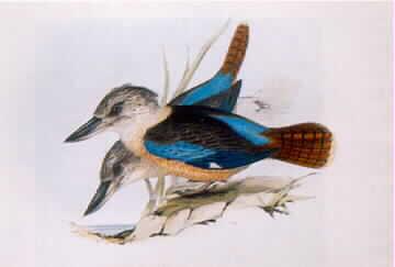 Dacelo Cerulna (Kingfisher)