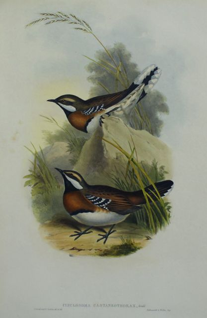 Chestnut-Breasted Ground Thrush (Cinclosoma Castaneothorax)