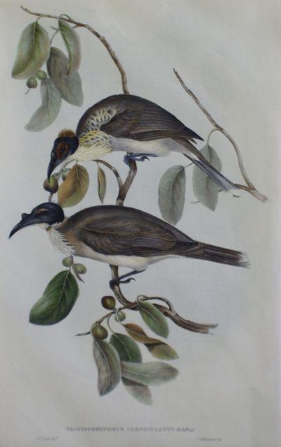Friar Bird (Tropidorhynchus Corniculatus)