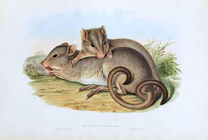 'Bettongia Graii' (Gray's Jerboa Kangaroo)