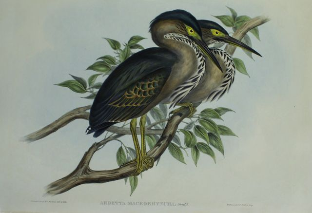 Thick-Billed Green Bittern (Ardetta Macrorhyncha)